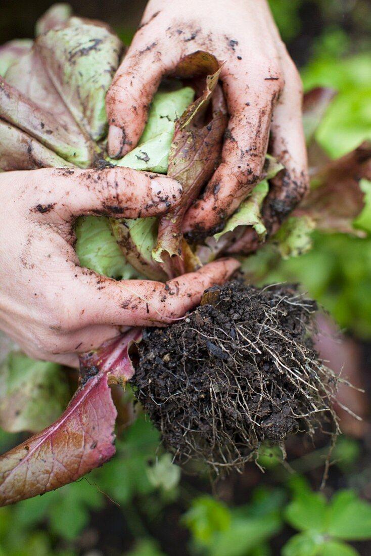 Lettuce being harvested