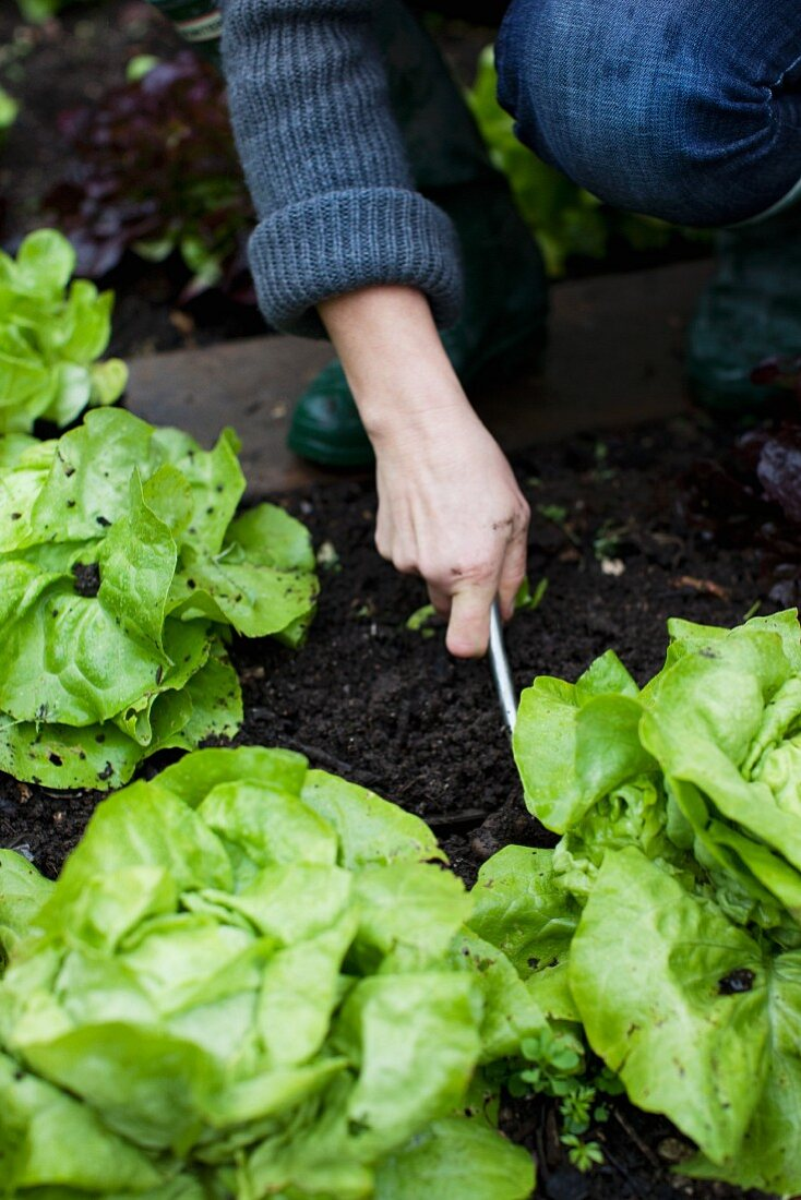Lettuce being planted