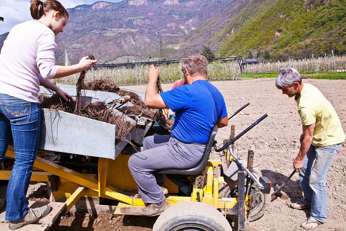 Terlan asparagus being harvested in South Tyrol