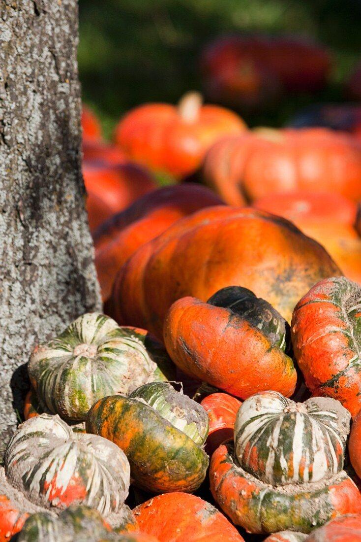 Various pumpkins next to a tree