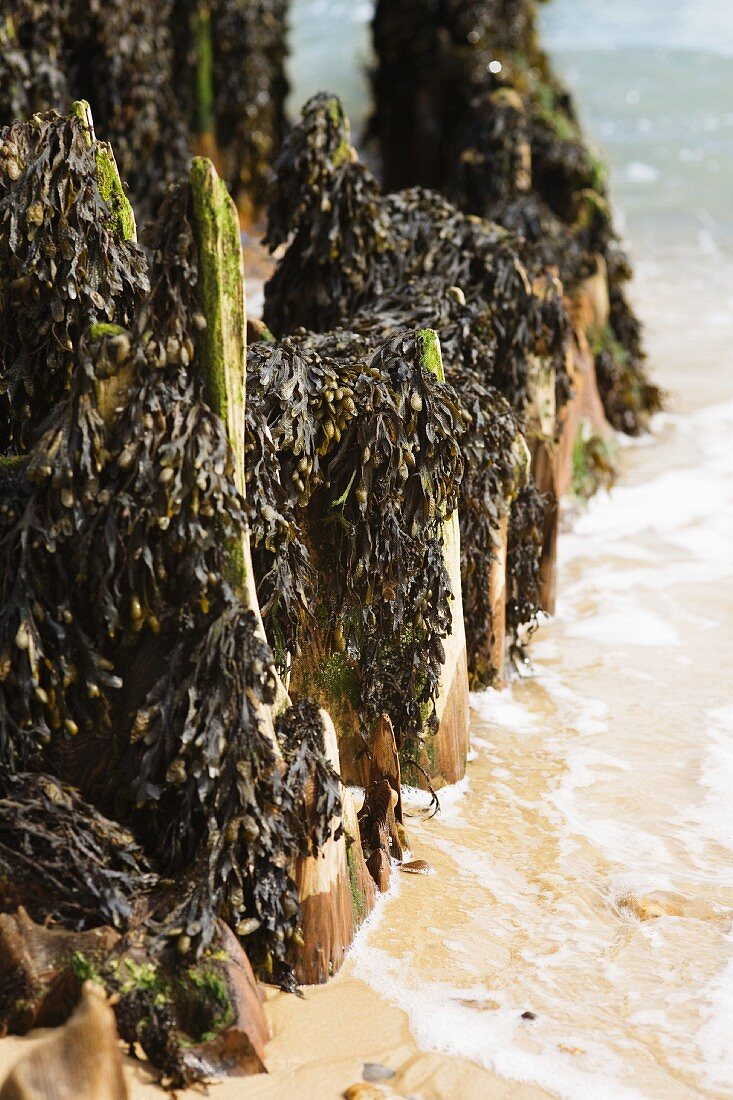 Wooden posts with seaweed on beach