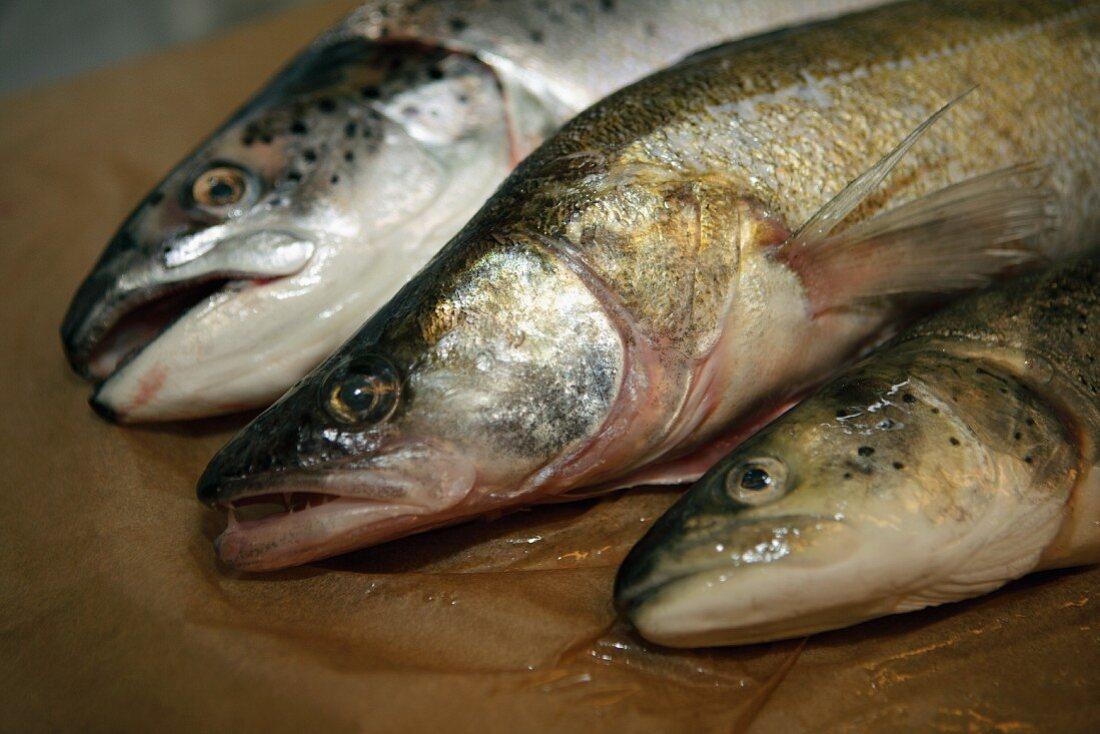 Various fresh water fish