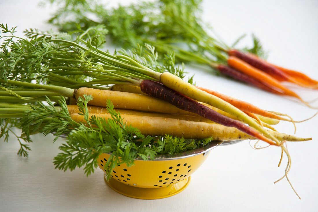 Various types of carrots: yellow carrots (Pfälzer, Lobbericher) and anthonina