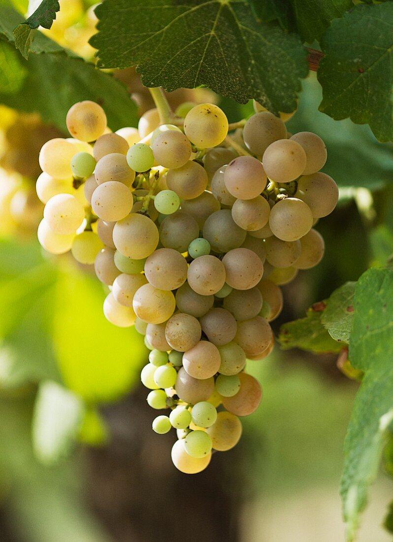 Spanish Parellada grapes