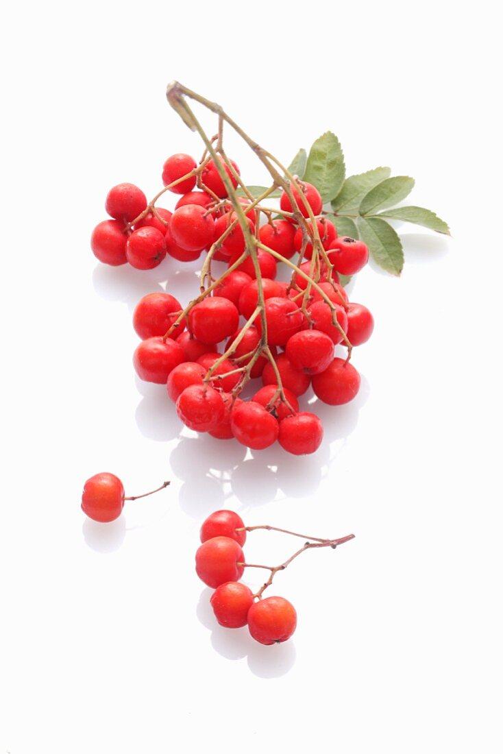 Rowan berries on a white surface