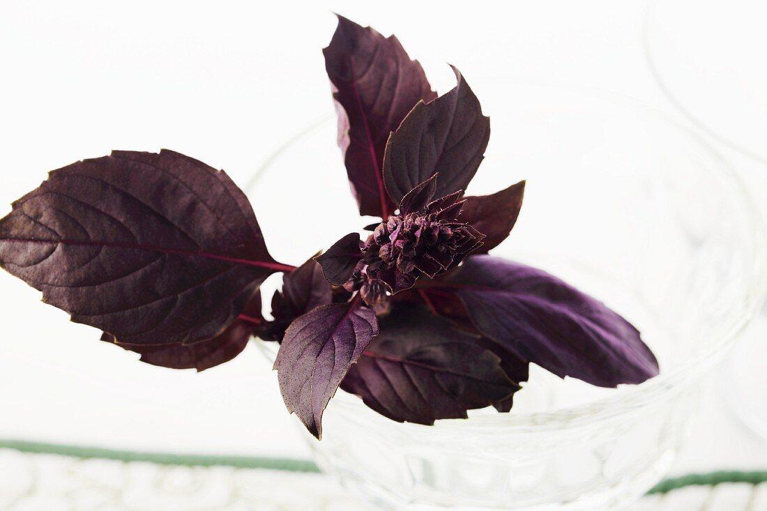 Fresh Purple Basil on a White Background