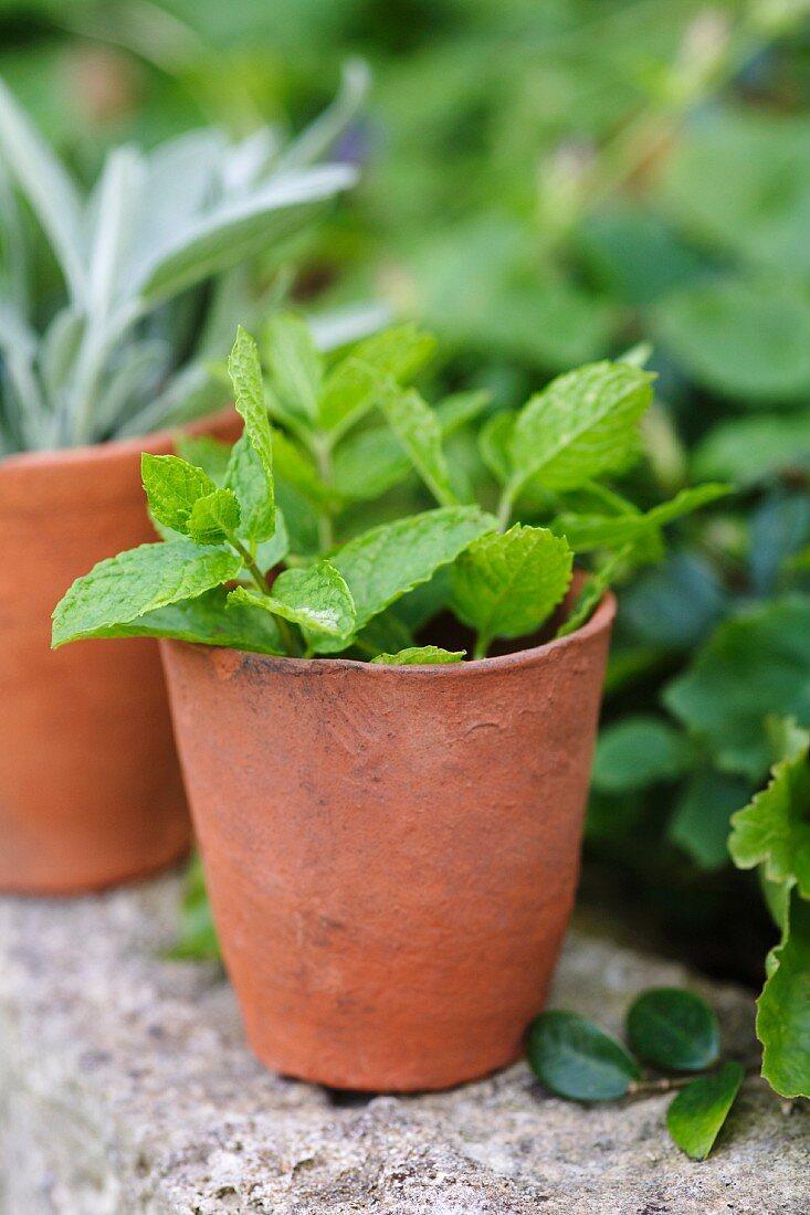 Peppermint in a terracotta pot