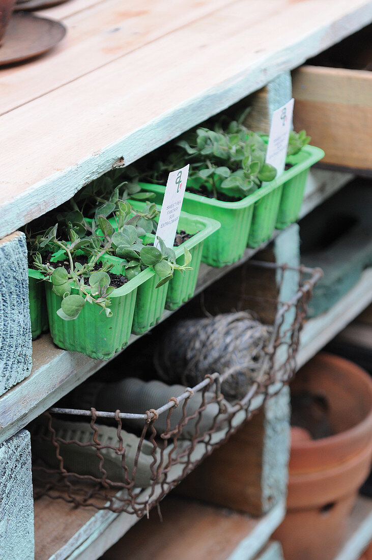Seedlings in segmented plastic containers on wooden shelving
