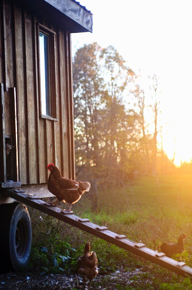 A free-range hen on a ladder leading to a chicken coop