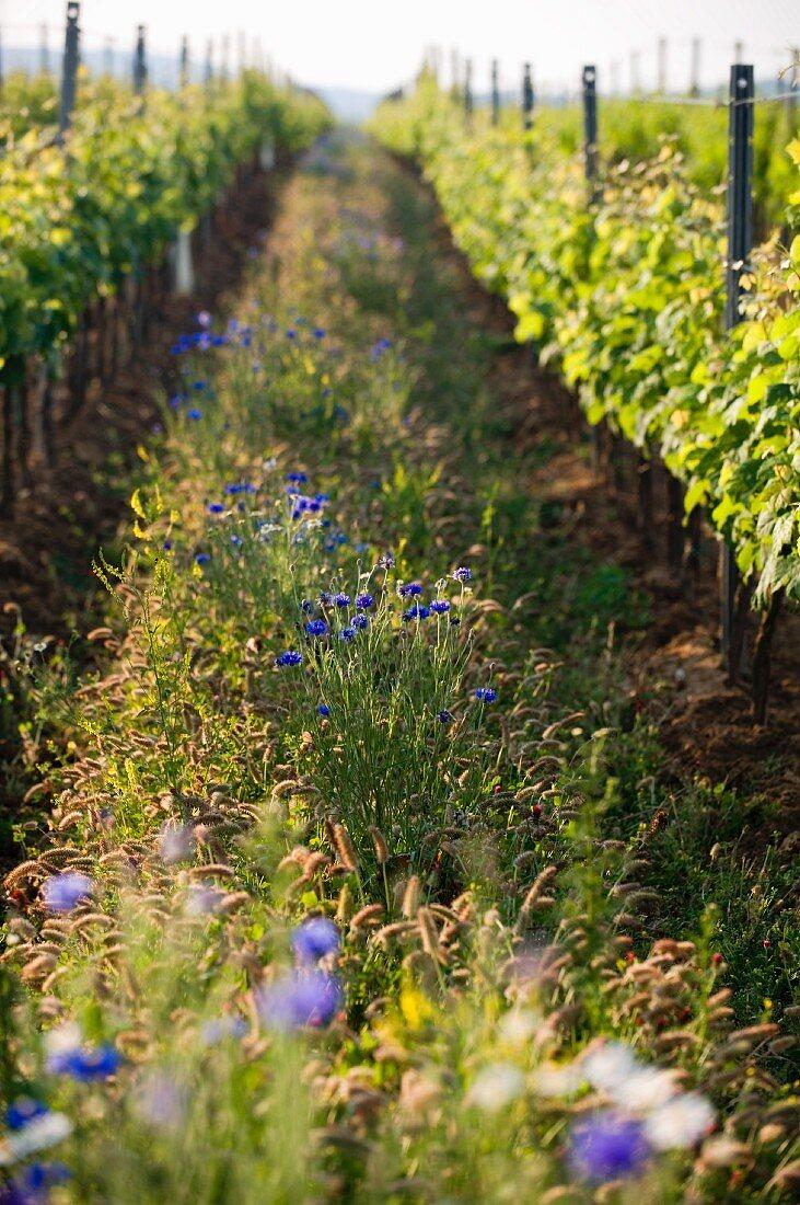 Biodiversity in a vineyard (Burgenland, Austria)