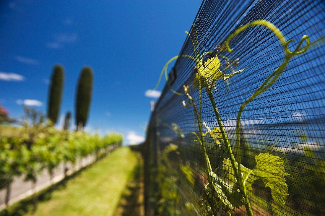 Tenuta Montalbano, Stabio, the region of most popular wine in Cantina Mendrisio