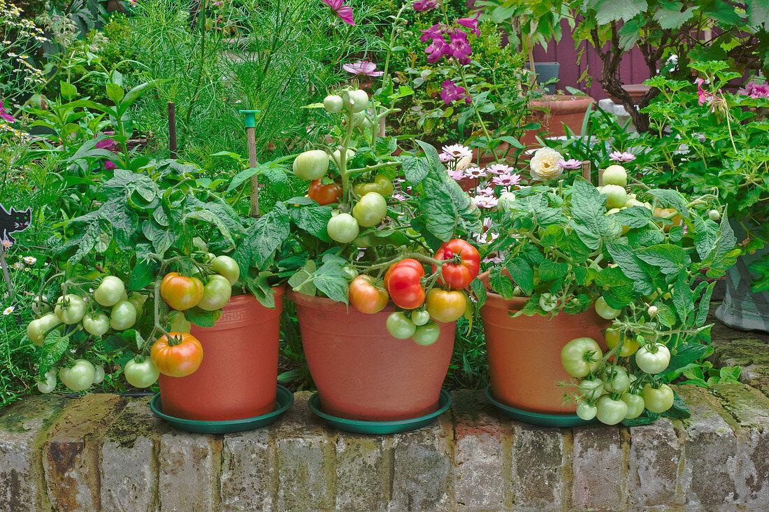 Tomato plants in pots on a terrace