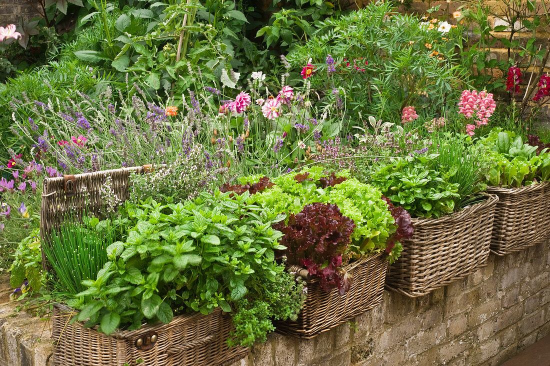Herbs and lettuce in wicker planters and various flowering plants in garden