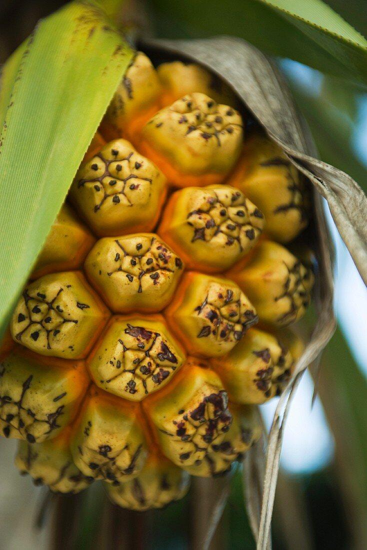 Ripening hala fruit (pandanus tectorius), close-up