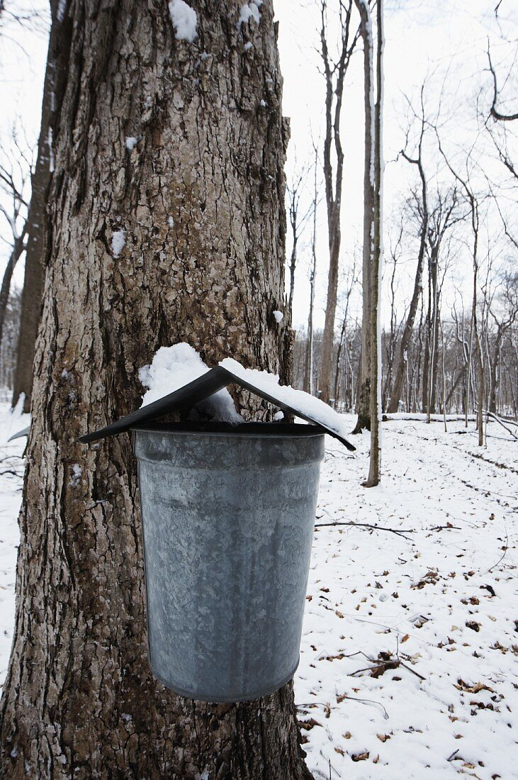 Galvanized Bucket Collecting Sap from a Maple Tree in Illinois