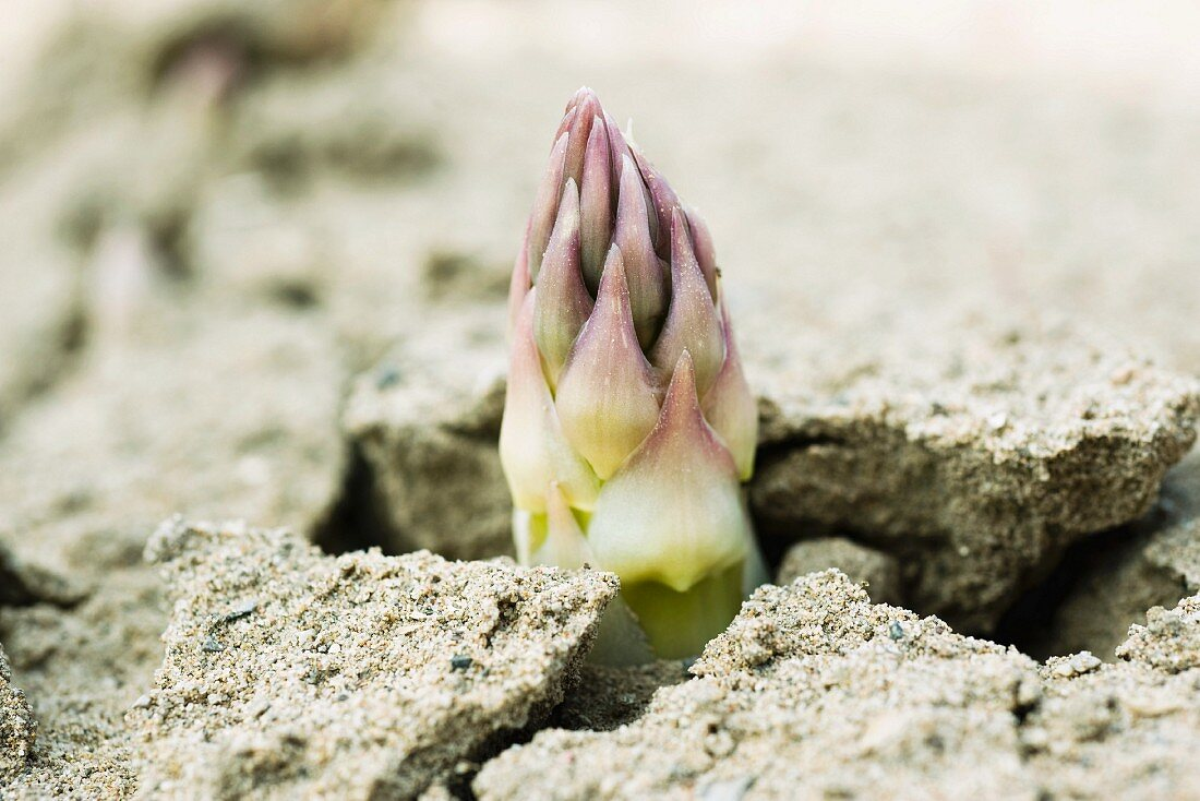 An asparagus tip shooting out of the earth