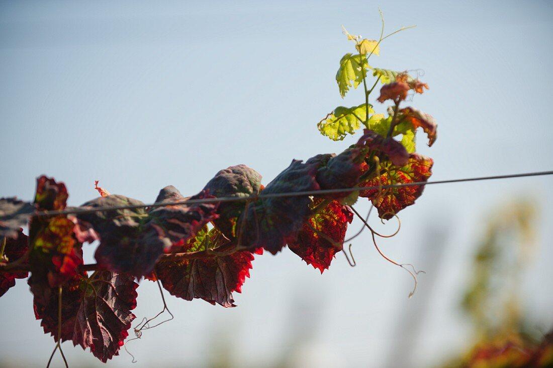 Alicante bouschet, typical vine with red leaves in Alentejo, Esporão winery