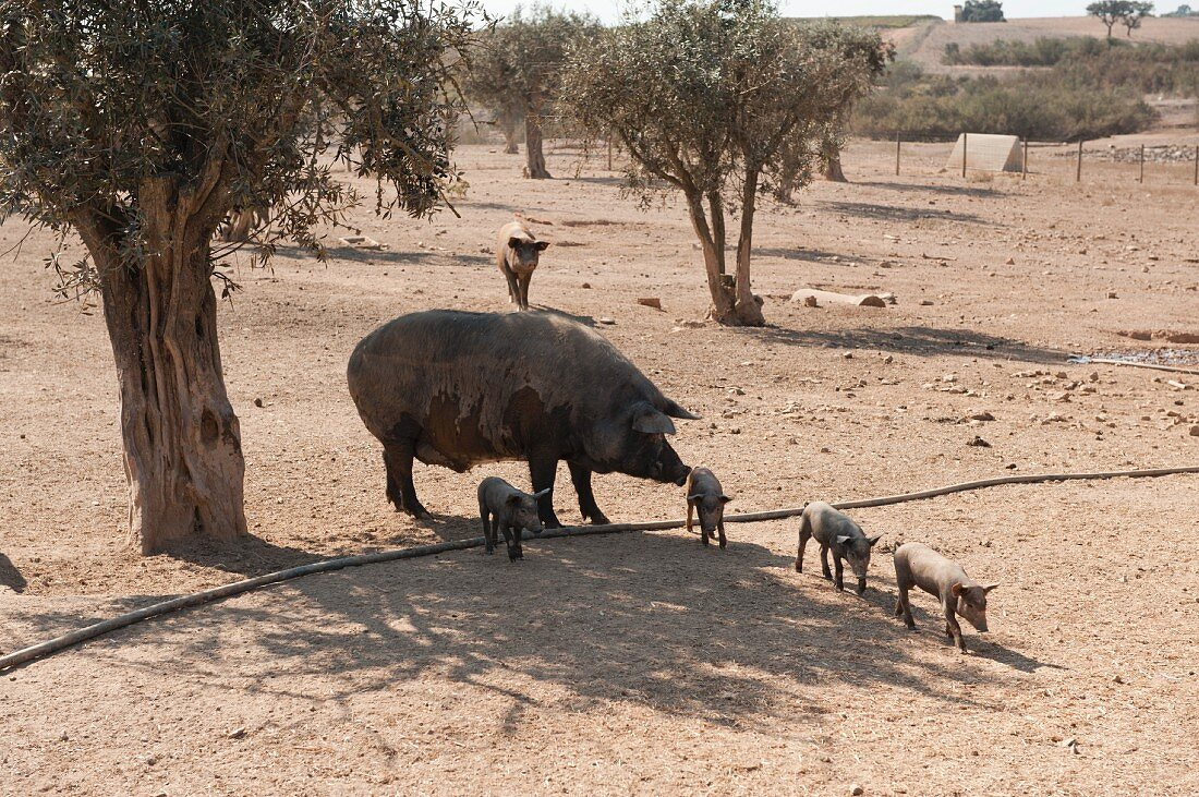 Iberian pigs on the estate of the Herdade dos Grous winery (Portugal)
