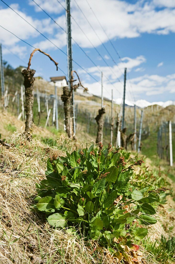 A sturdy sorrel plant (Rumex acetosa) in a vine yard