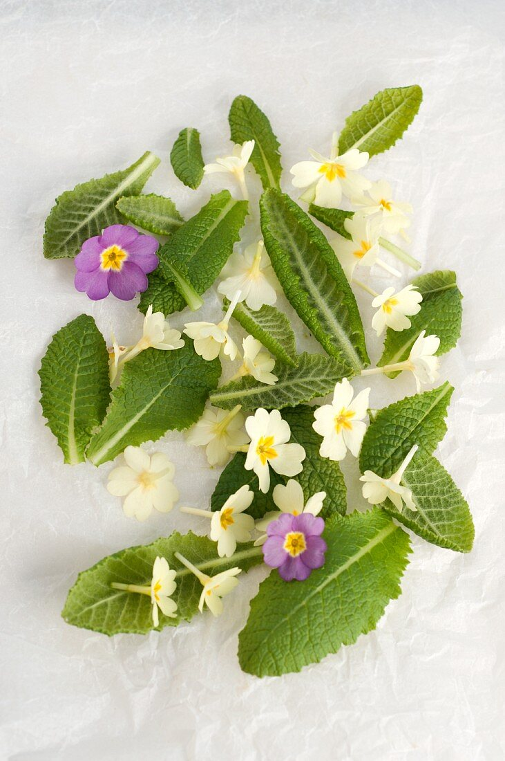 Cowslip leaves and flowers
