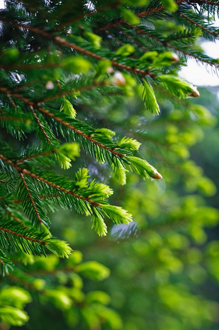 A spruce with light green shoots