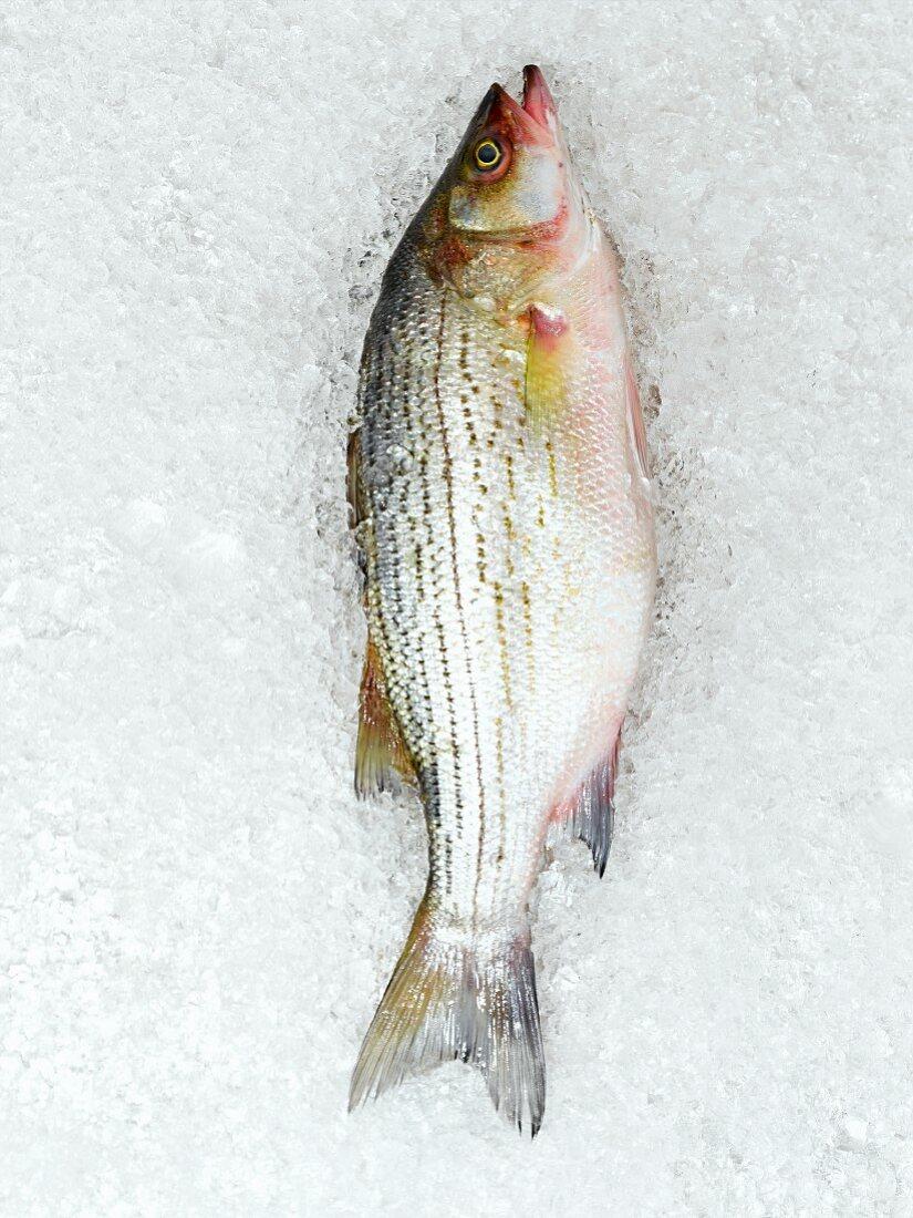 Whole Fresh Striped Sea Bass on Ice