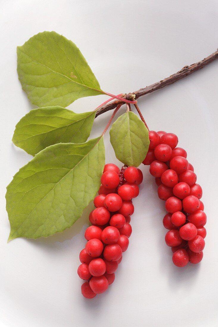 Schisandra berries on a twig