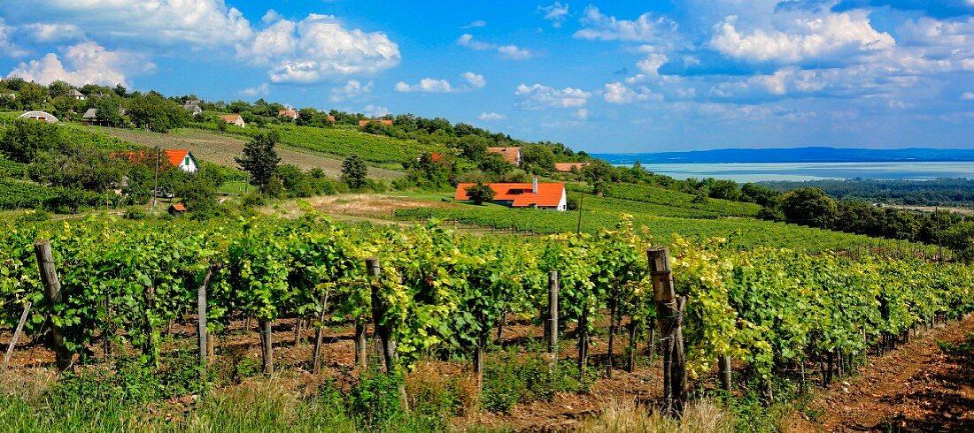 Badacsony - Csopak Weinbauregion mit Blick auf den Plattensee, Ungarn