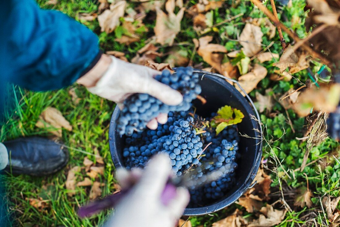 Grape harvest: a worker collecting red wine grapes in a bucket