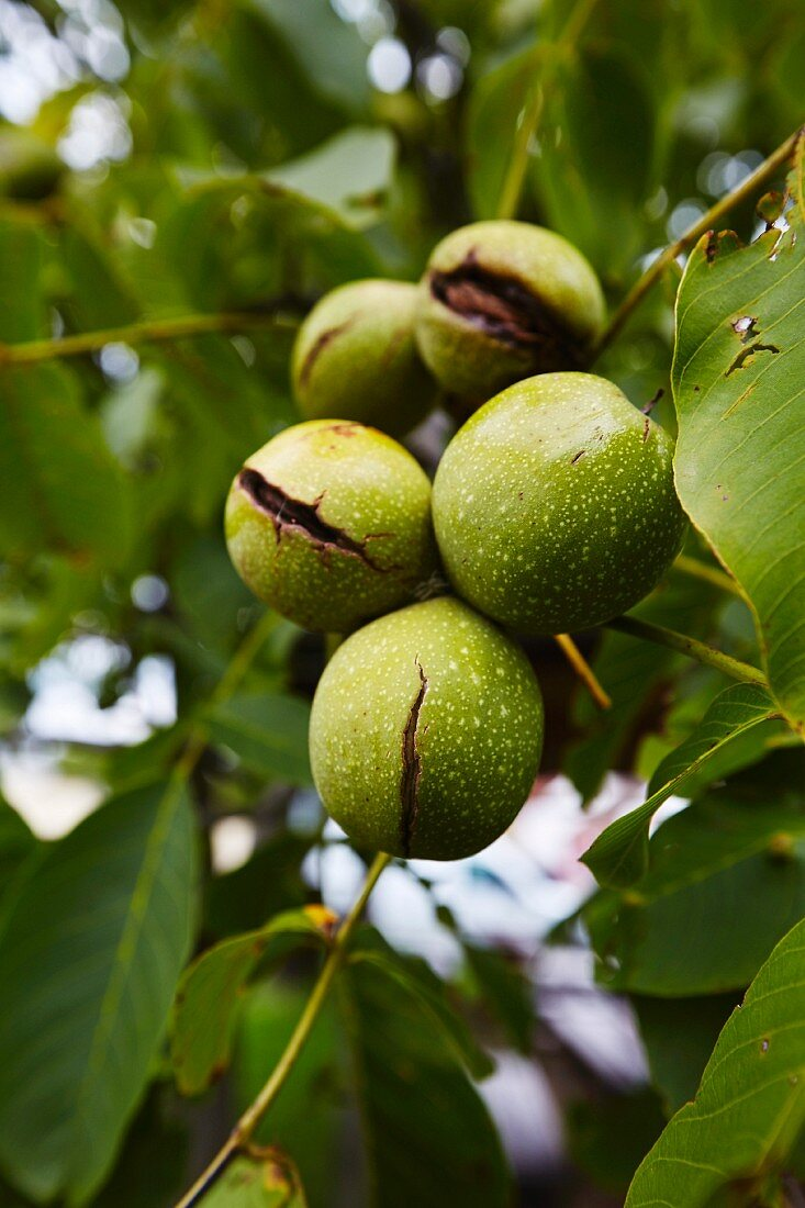 Walnuts with green shells hanging on a tree