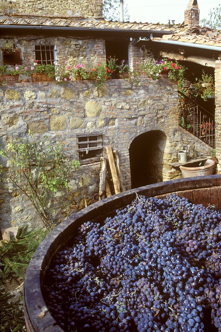 Vat of Sangiovese grapes in the yard of a Chianti estate