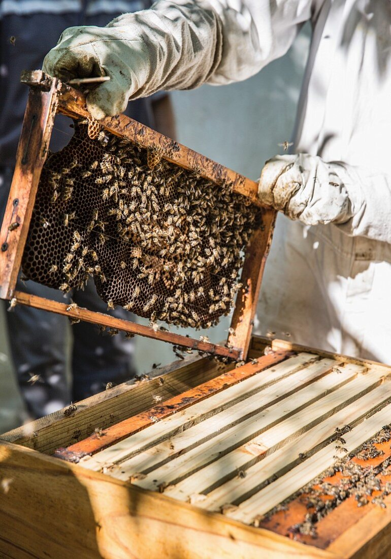 A beekeeper wearing protective clothing standing at the beehive with a honeycomb