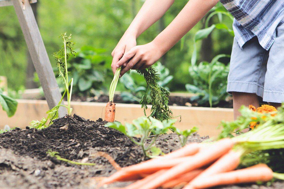 A little boy harvesting carrots in a garden