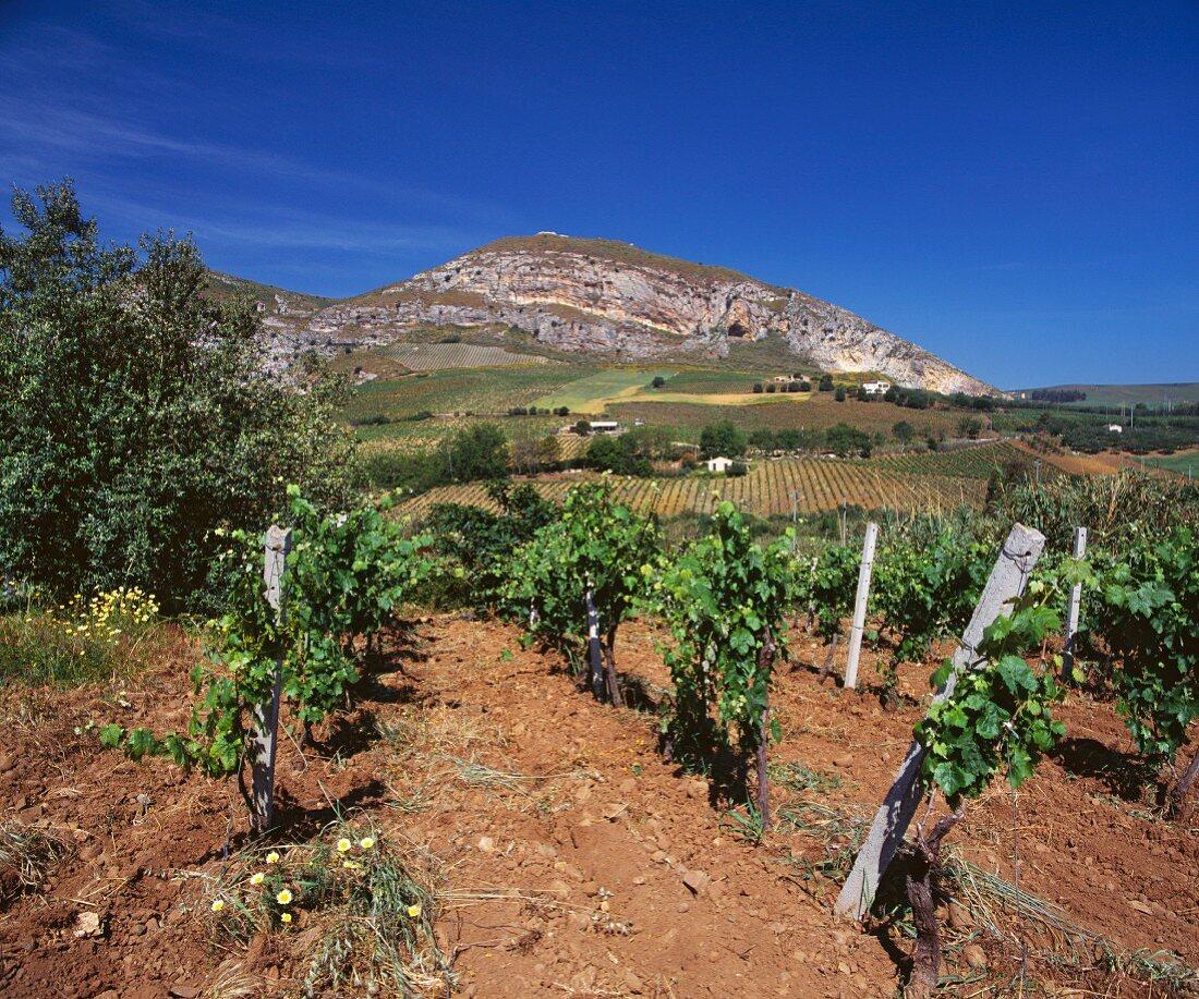 Die Reben bei Alcamo bringen leichte Weißweine (Sizilien)