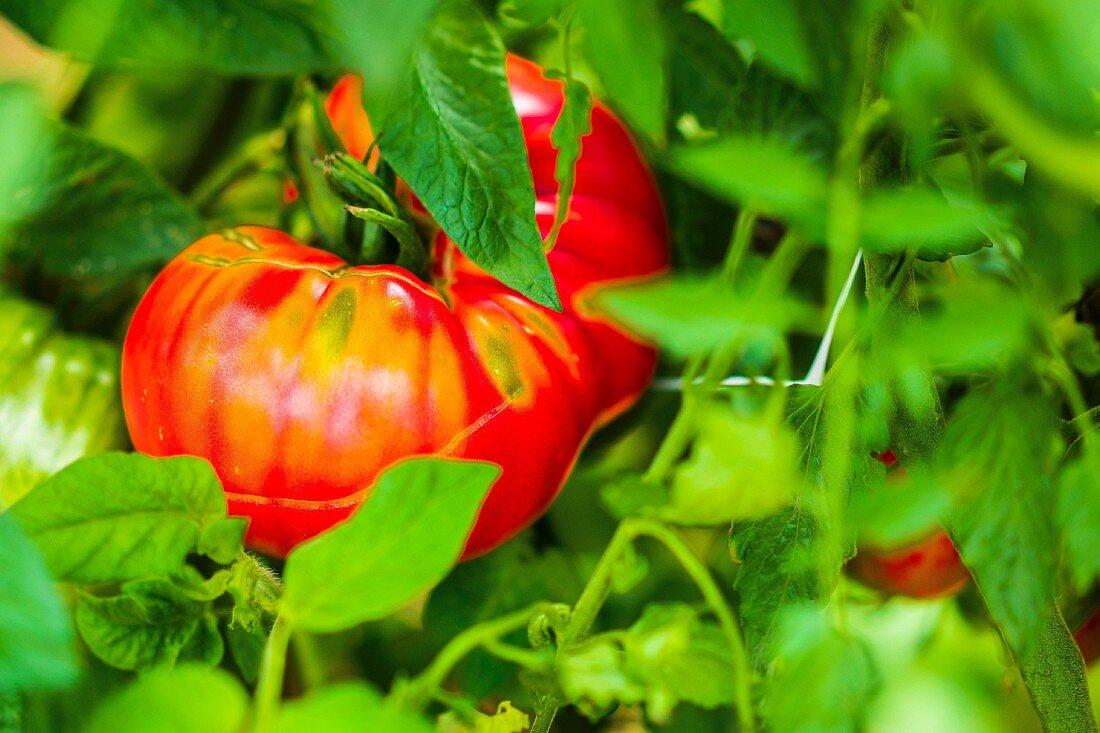 Beefsteak tomato on the plant