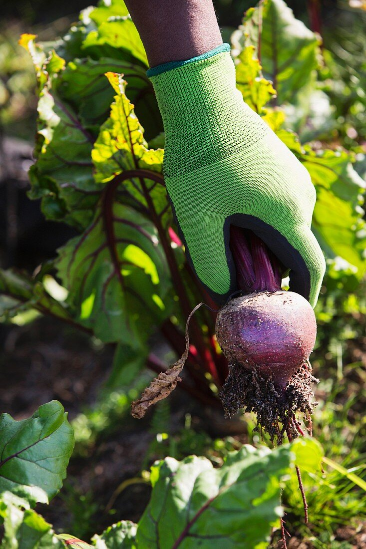 A hand holding a beetroot