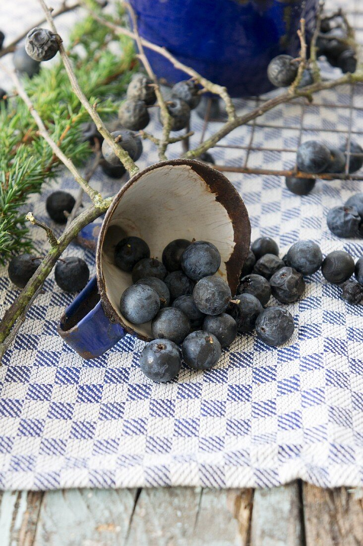Sloes with juniper branch and a funnel