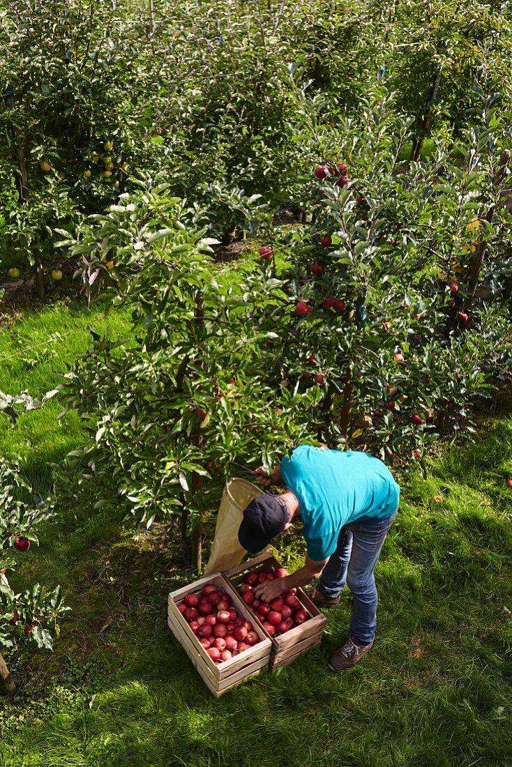 A farmer harvesting apples