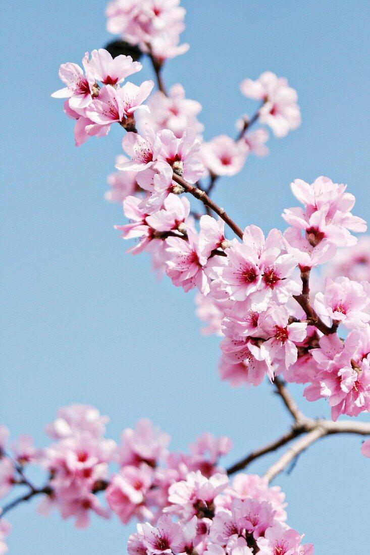 A flowering sprig of almond blossom against a blue sky