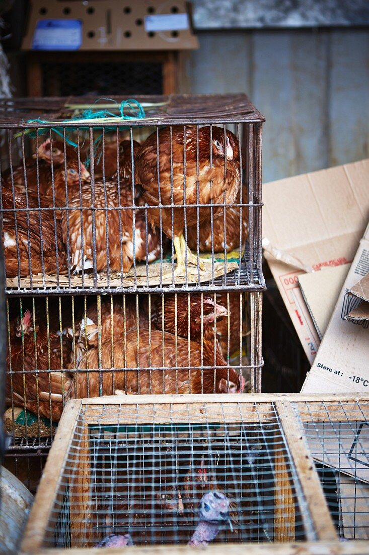 Hens in small cages