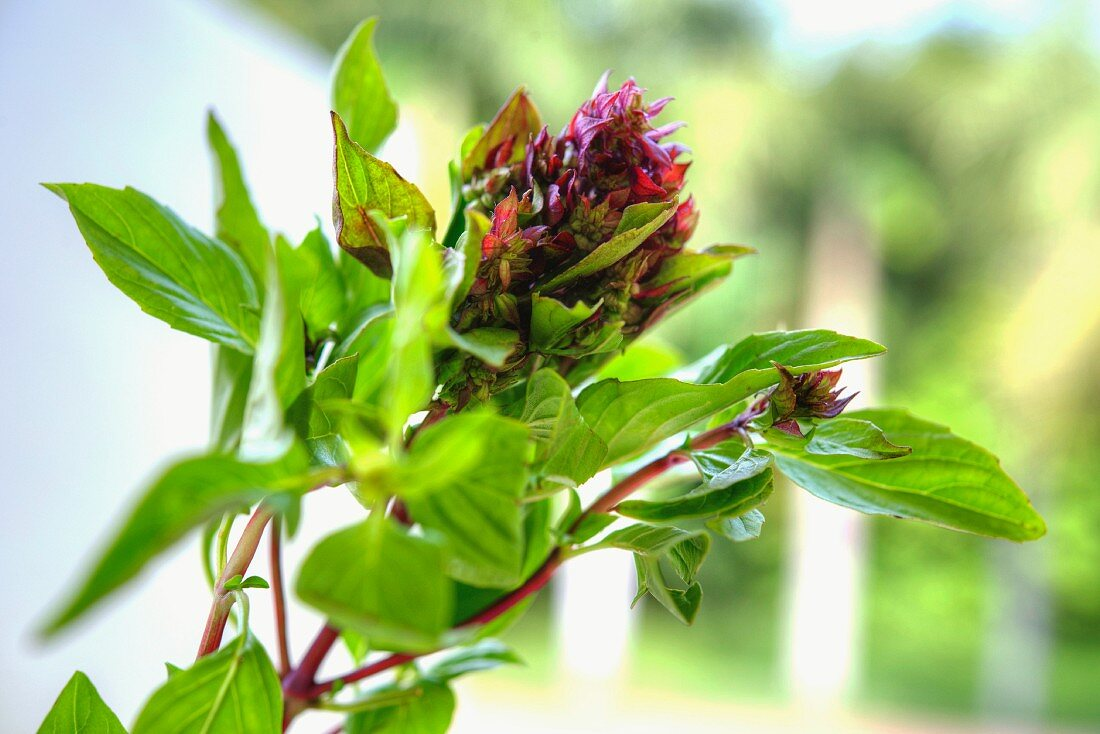 A Thai basil plant with a flower