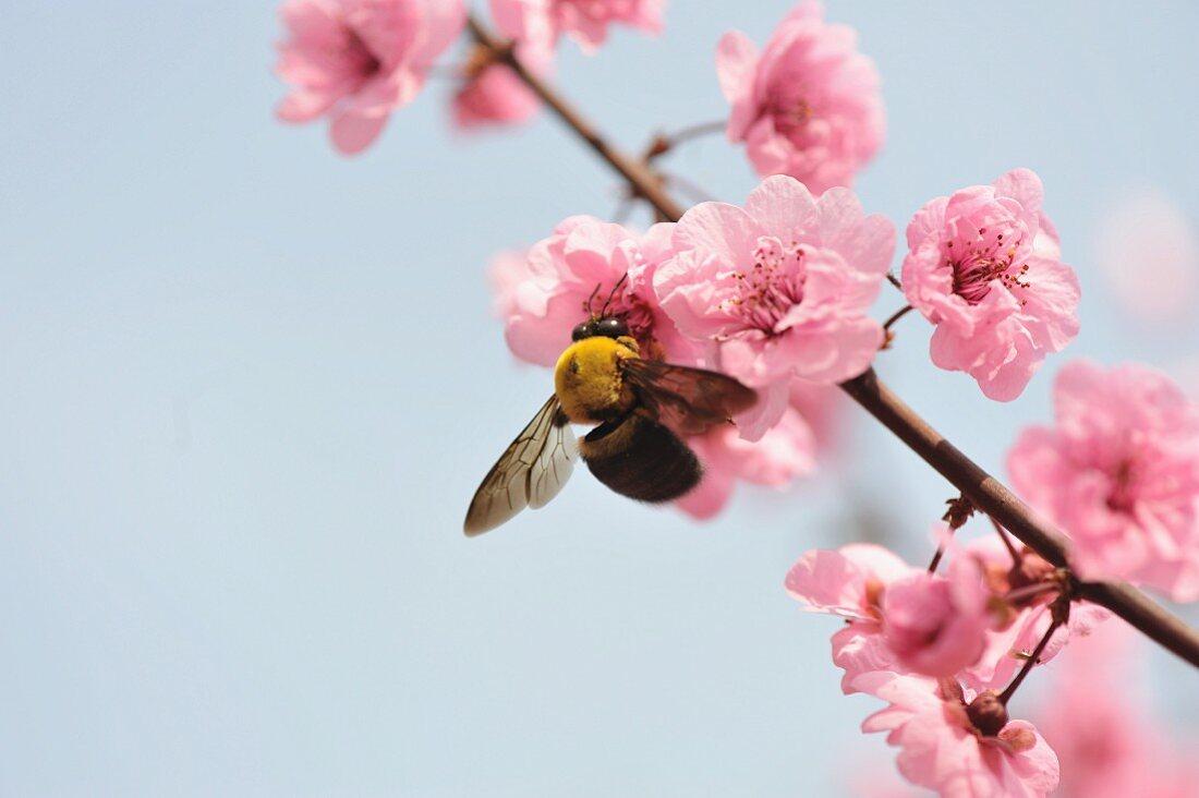 Close up of bee feeding on peach blossom