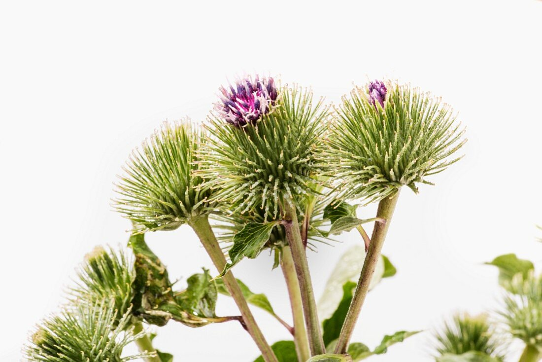 Burrs with flowers