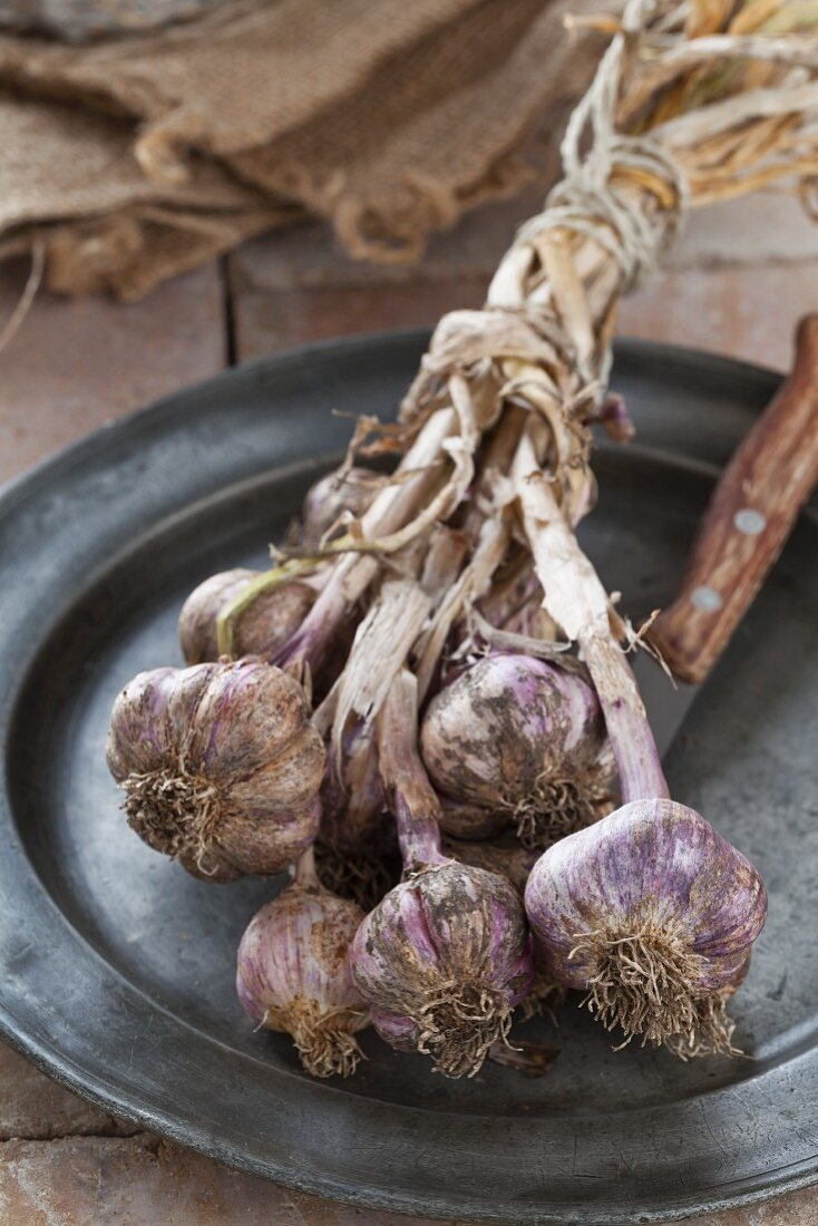 Freshly harvested garlic, tied in a bundle for drying, on a plate