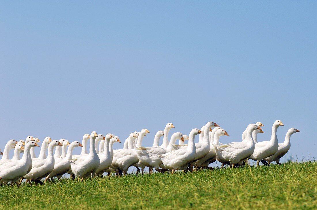 Free range geese on a mountain farm in Upper Austria