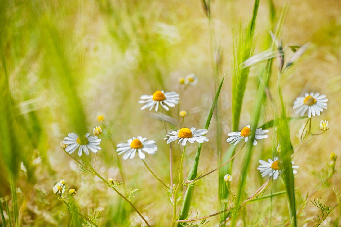 Camomile flowers growing in a field