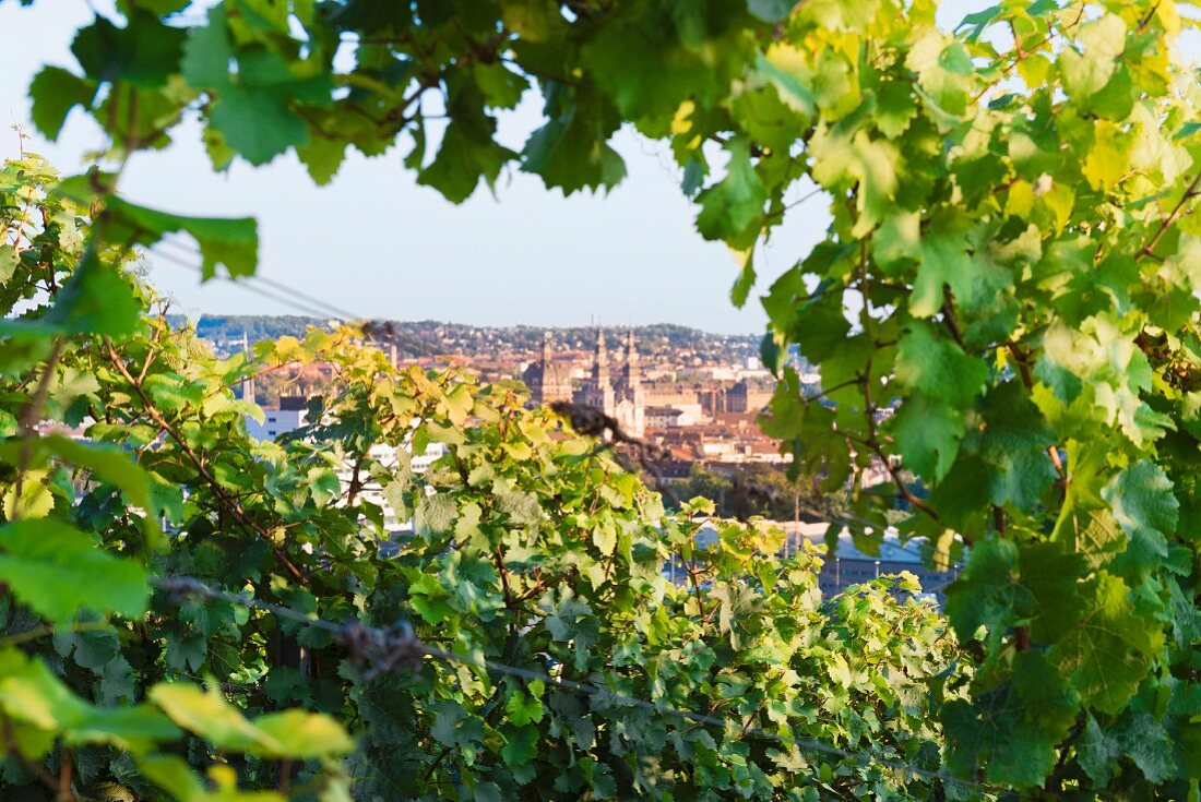 A view over Würzburg through Riesling vines