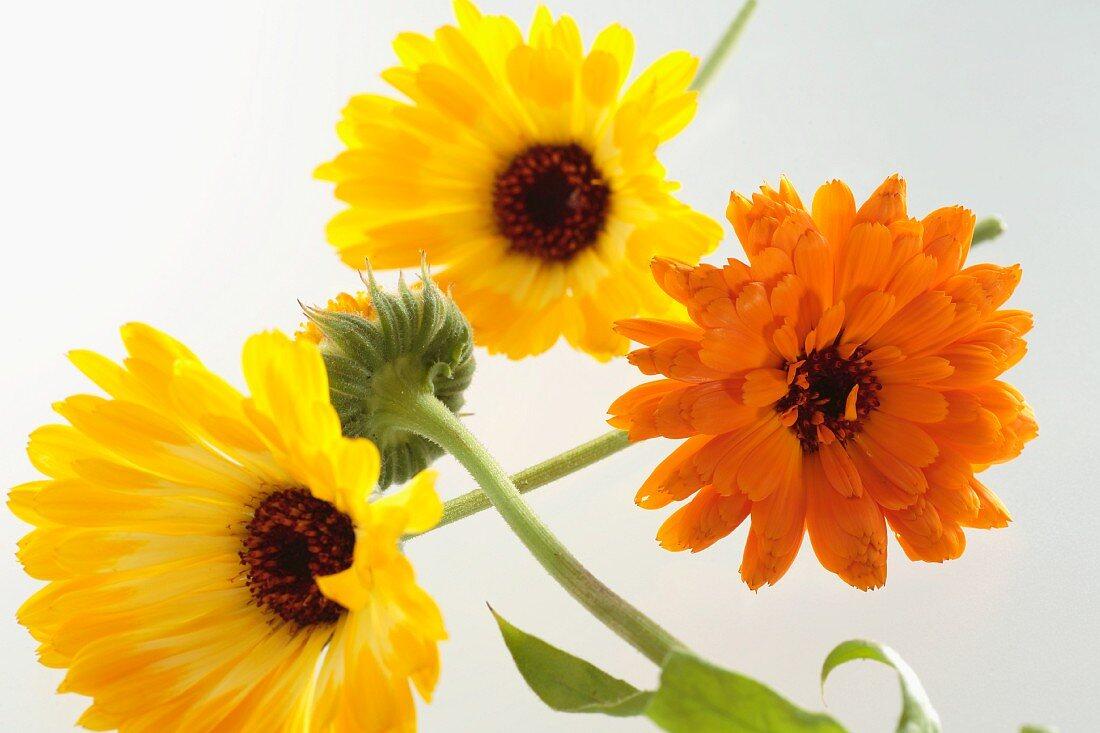 Calendula flowers
