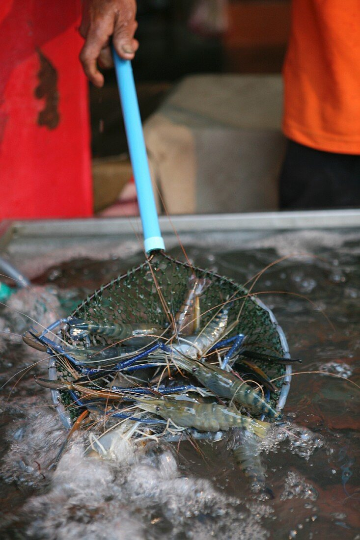 King prawns being removed from a pond, Thailand