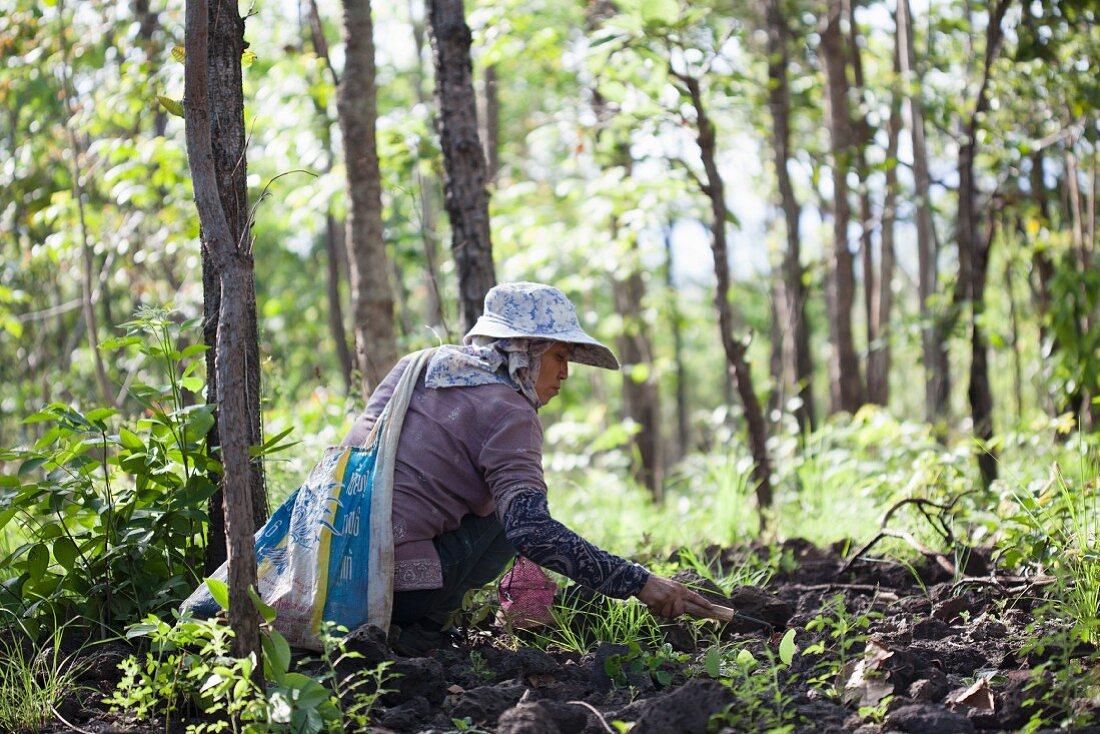 A Thai woman foraging for mushrooms